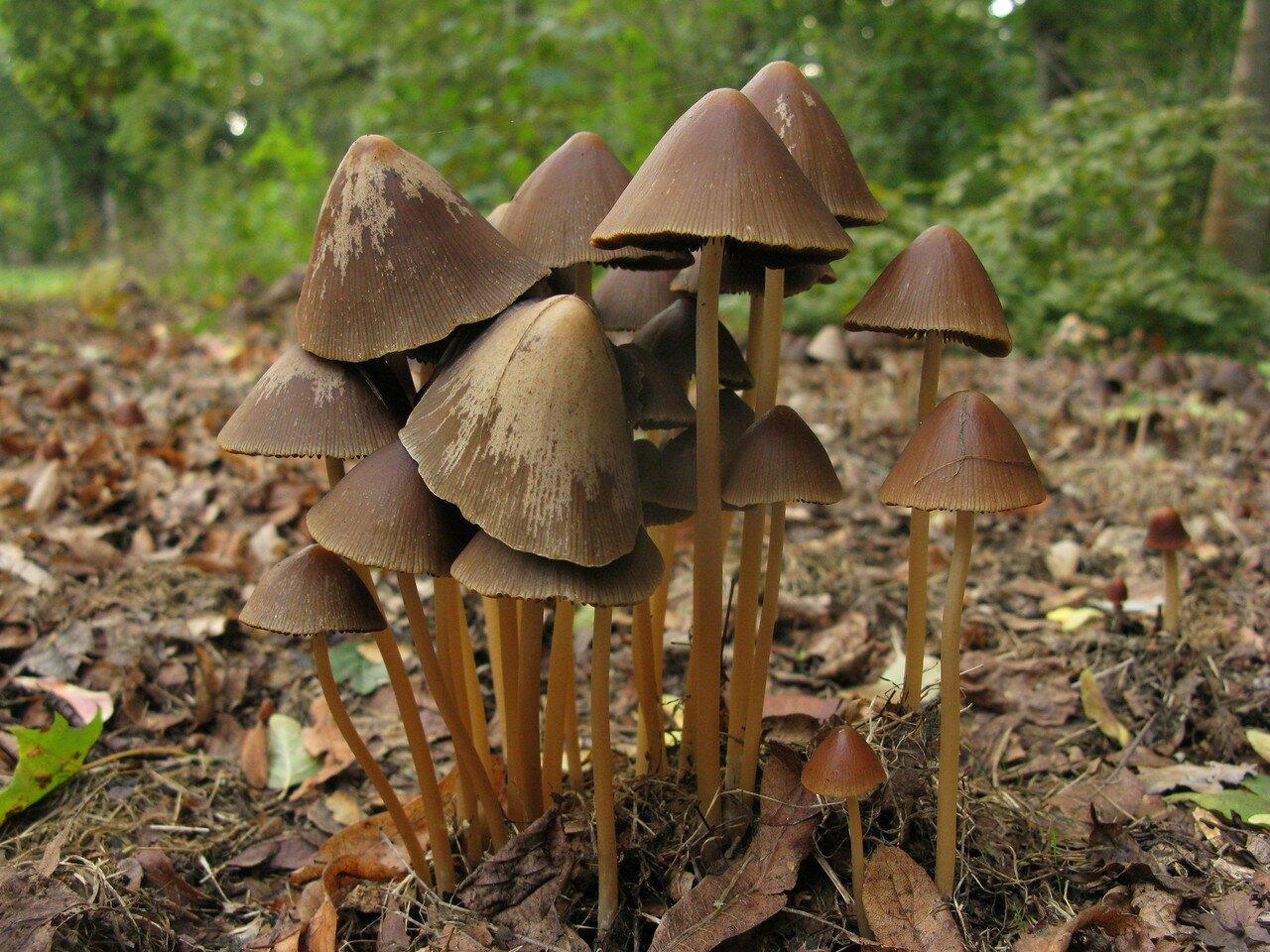 Псатирелла коническая (Psathyrella conopilus f. conopilus) Автор фото: Станислав Кривошеев