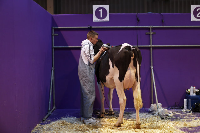 A French farmer prepares a milk cow as preparations continue on the eve of the opening of the Intern