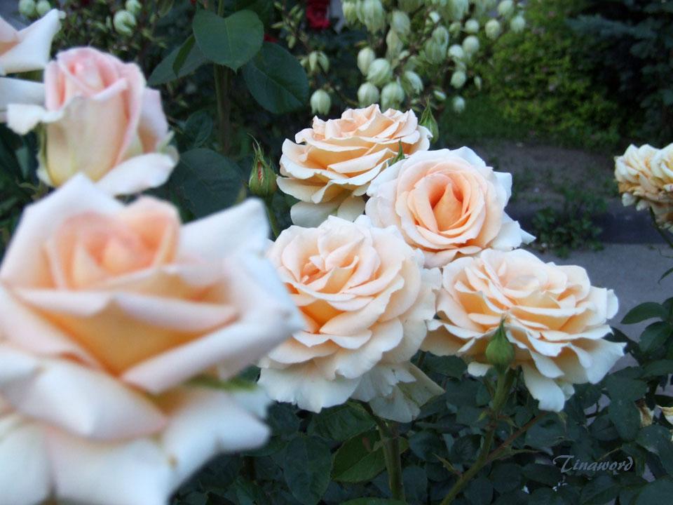 С чем сравнить розу по красоте