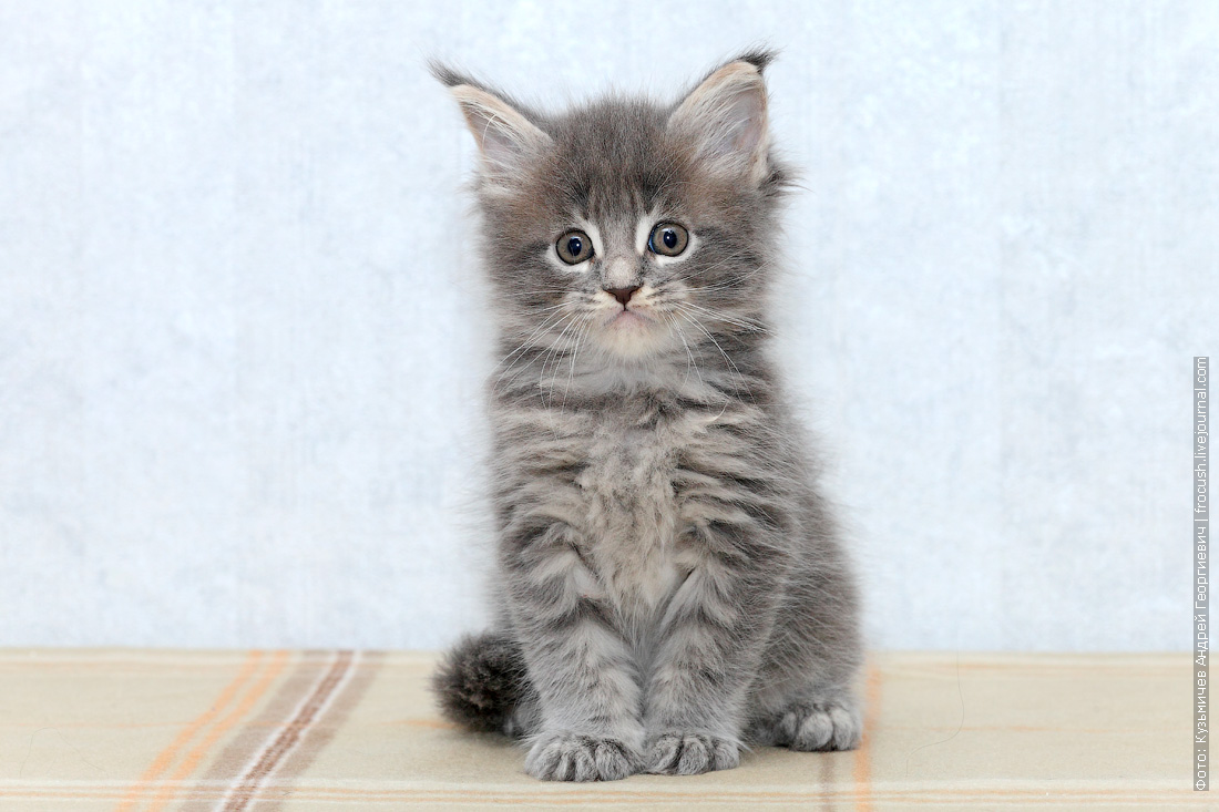 питомник в Москве котята мейн кун