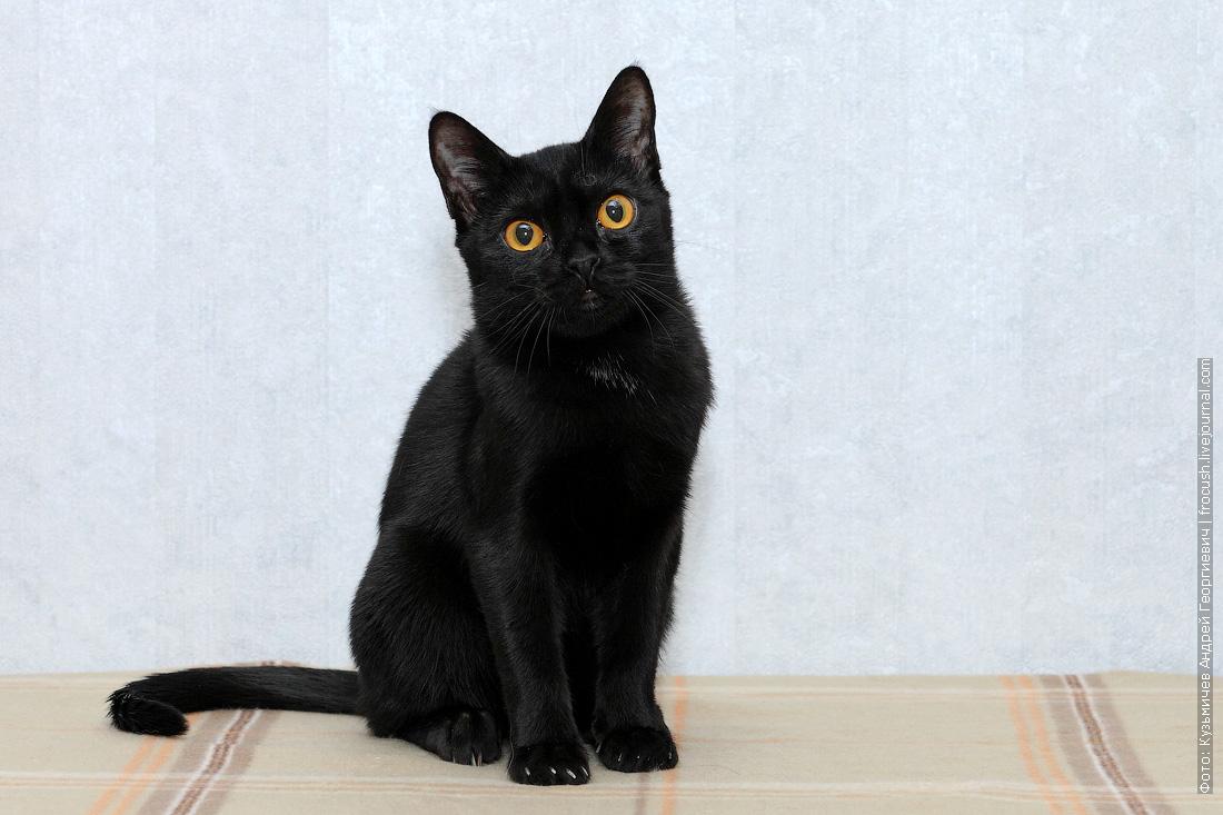 котенок бомбейской кошки купить в москве