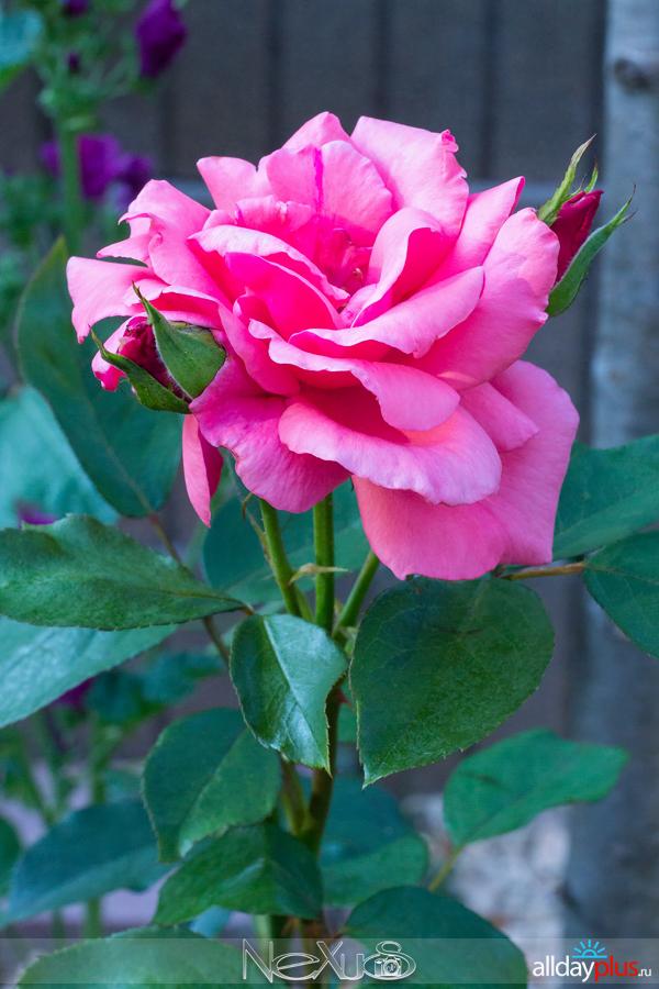 Я люблю все цветы, выпуск 205 | Розы «Pariser Charme» и несостоявшаяся «Black Baccara».