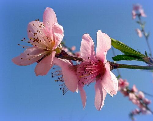 Цветет персик