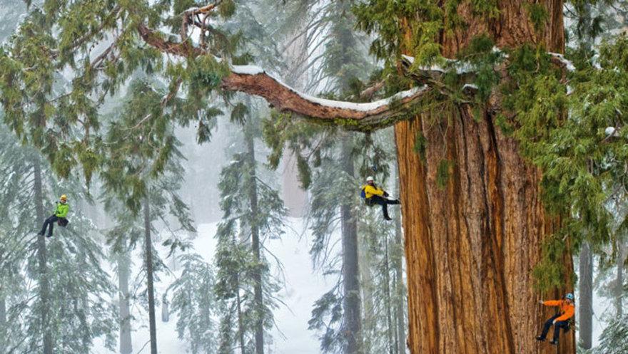Самое гигантское дерево в мире впервые удалось вместить полностью на одной фотографии (8 фото)