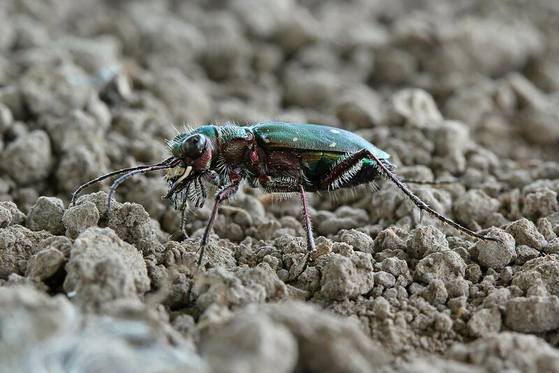 Скакун полевой (Cicindela campestris): блестящий зеленый жук с огромными глазами из семейства жужелиц
