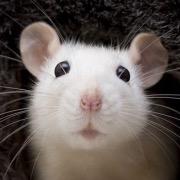 Белая крыса анфас