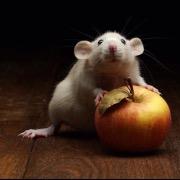 Портрет крыса с яблоком