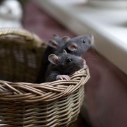 Крысы в корзинке