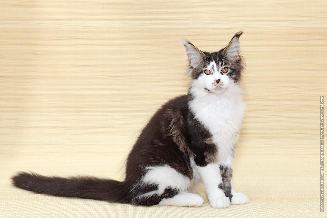 котенок Мейн-кун цена домашний любимец