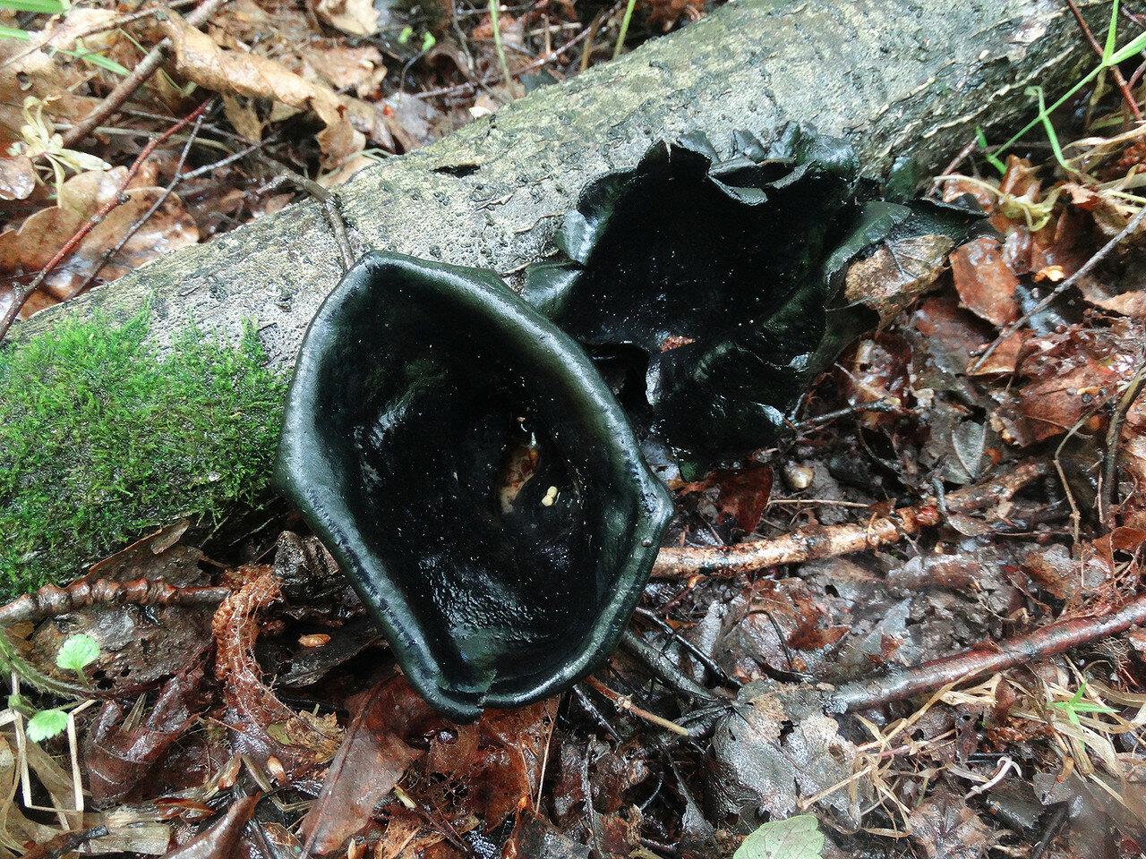 Урнула бокаловидная (Urnula craterium). Автор фото: Привалова Марина