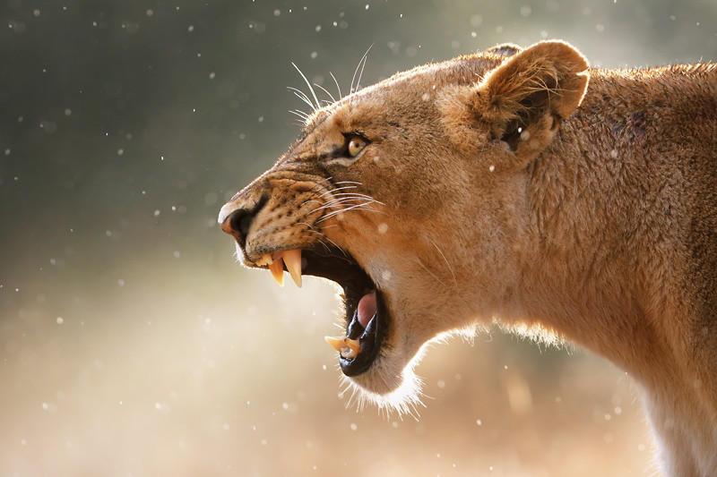 18. Львица под дождём