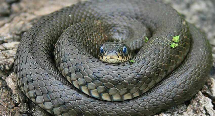 Ученые пояснили, почему змеи имеют длиннющие тела икороткие хвосты— Чудеса генетики