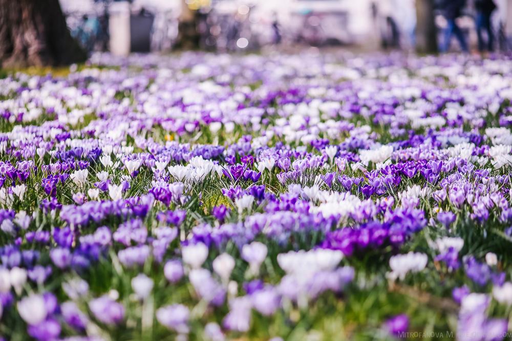 Цветение в Амстердаме и Гааге