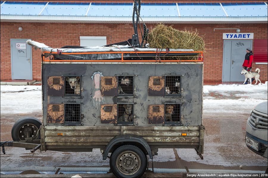 Вот так перевозят ездовых собак(