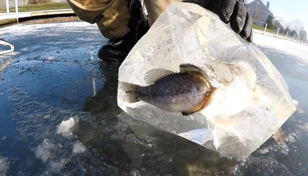 Щука вмерзла в лед с окунем во рту