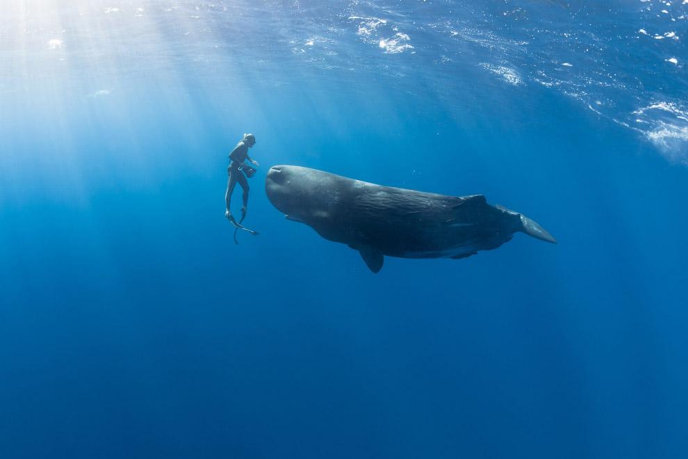 6. Он голосистый. Голосовые сигналы кашалота в целом близки к сигналам других китов. Это три ти