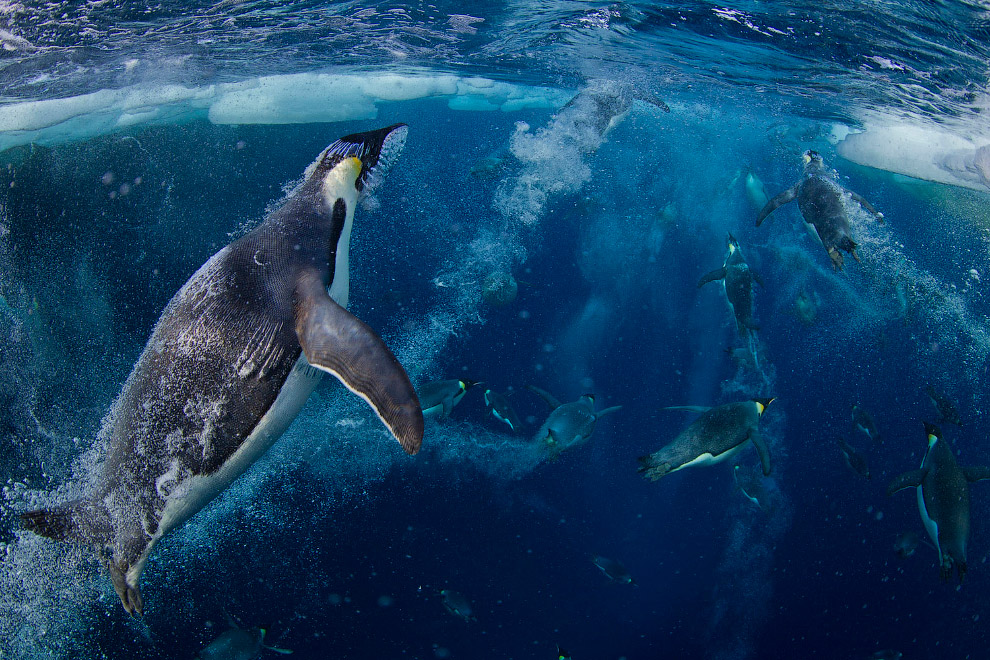 22. Морской леопард охотится на пингвина.