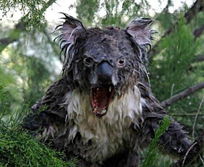 Мокрая коала. 2.