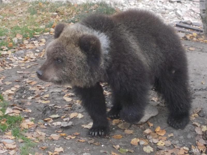 ВКрасноярске наинтернет-аукцион выставили медведицу поцене 1 руб.