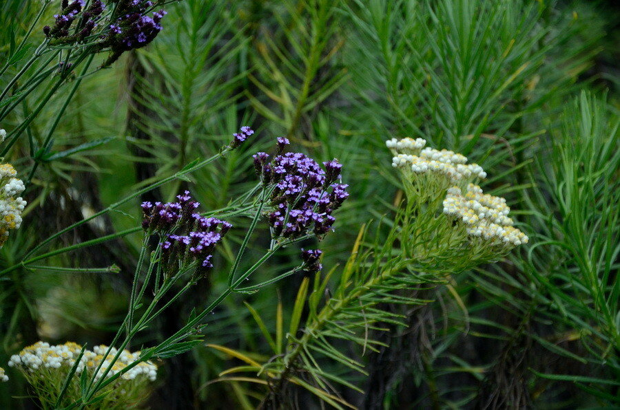 Эдельвейс и цветы