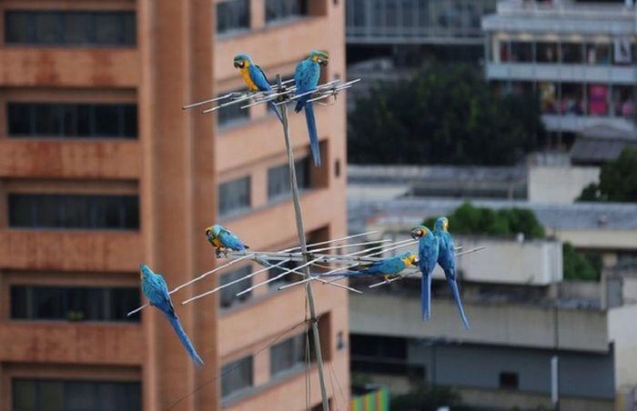Голуби Венесуэлы