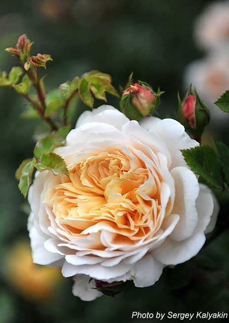 Rosa Crocus Rose (4).JPG