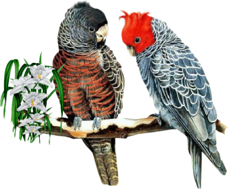 Birds47(parrots)_dhedey.png