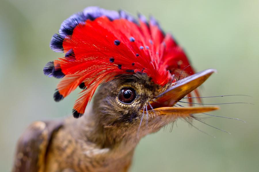 Королевский мухоед