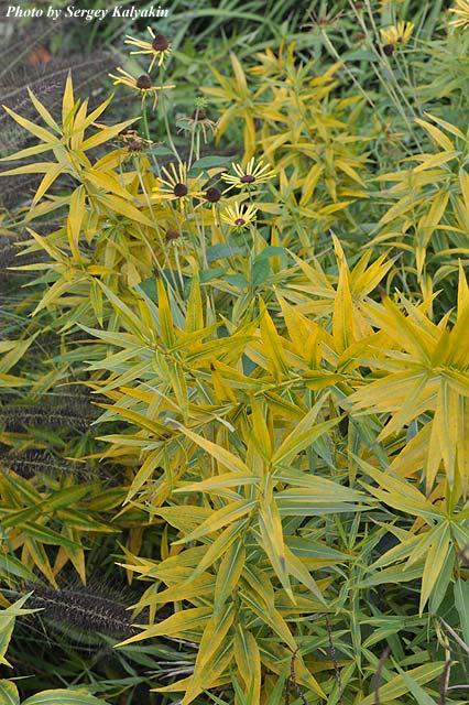 Amsonia tabernamontana Salicifolia.JPG