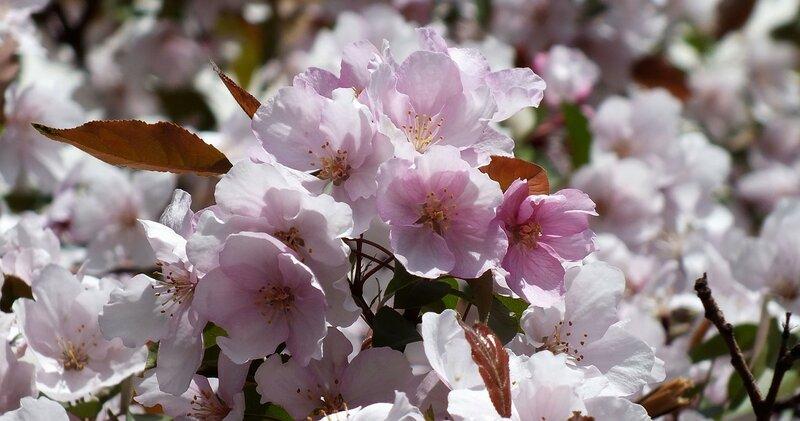 Розовые цветы дички