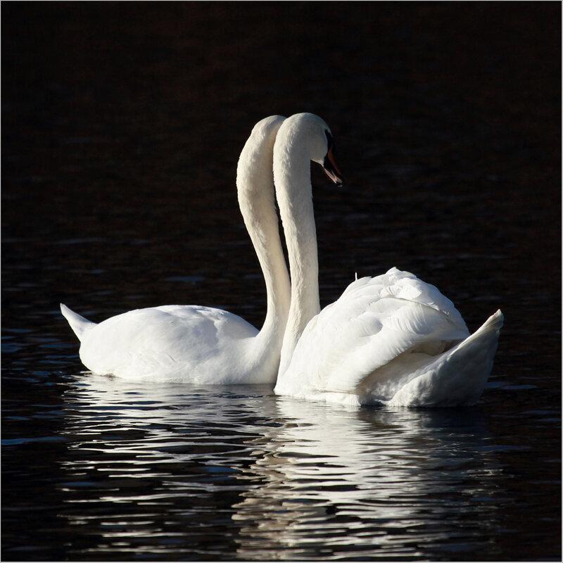 свечи лебеди картинка популярны
