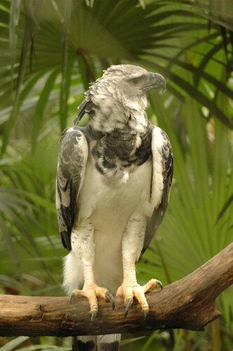 Гарпия - знаменитая птица! 0_1ff9f_5bdd7d4f_L