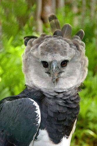Гарпия - знаменитая птица! 0_1ffa0_f8532555_L