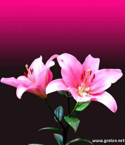 vg-lys-roses.jpg