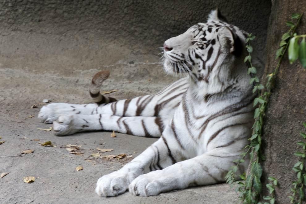 металлический тигр фото гинеколог перед