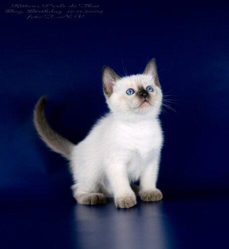 Проголосуй за него!  Опубликовано в. Клуб Тайских Кошек.  Метки. котята. seal-point.  Проголосовать за фото.