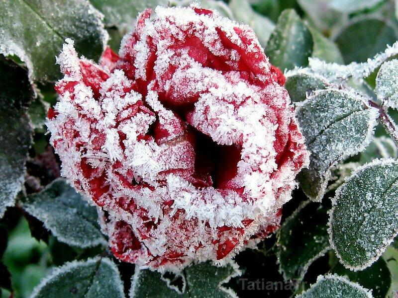 Еще одна замороженная красавица