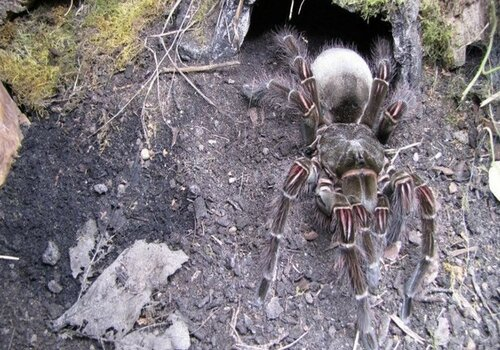 Самый крупный паук Терафоза Блонда