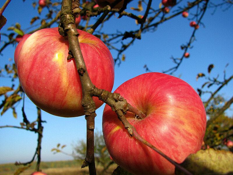 Райские яблоки. Автор. Gluk365.