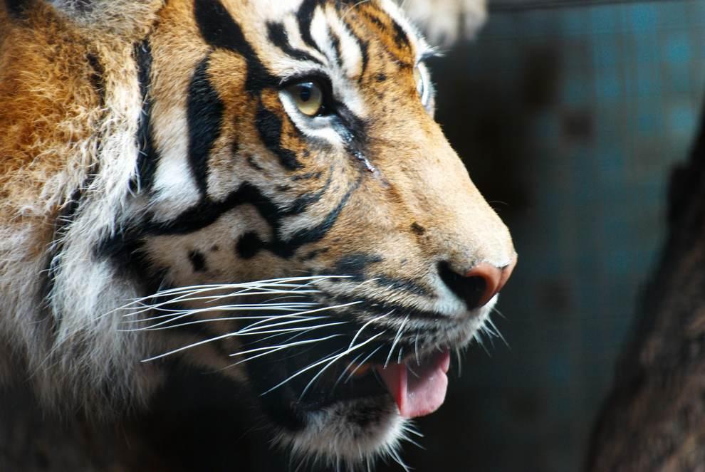 металлический тигр фото патента устанавливается
