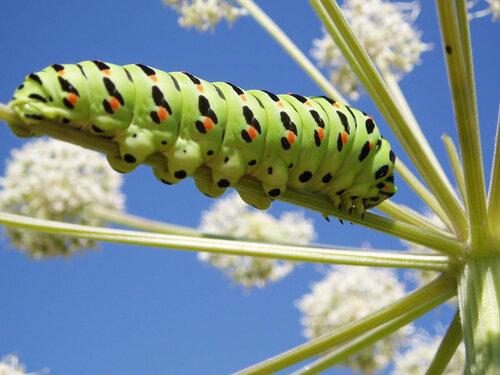 بشق CATERPILLAR المراكب الشراعية (Papilio machaon)