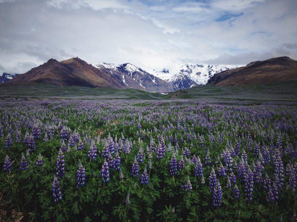 © Laura Aziz/ Unsplash  Бесконечные поля люпинов— нежная улыбка суровой природы Исландии.