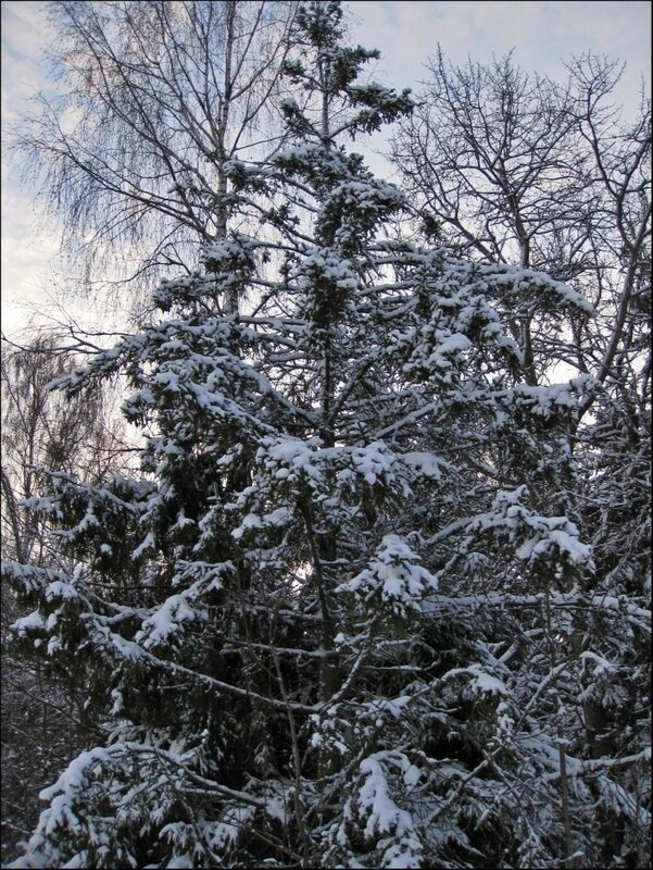Деревья в снегу