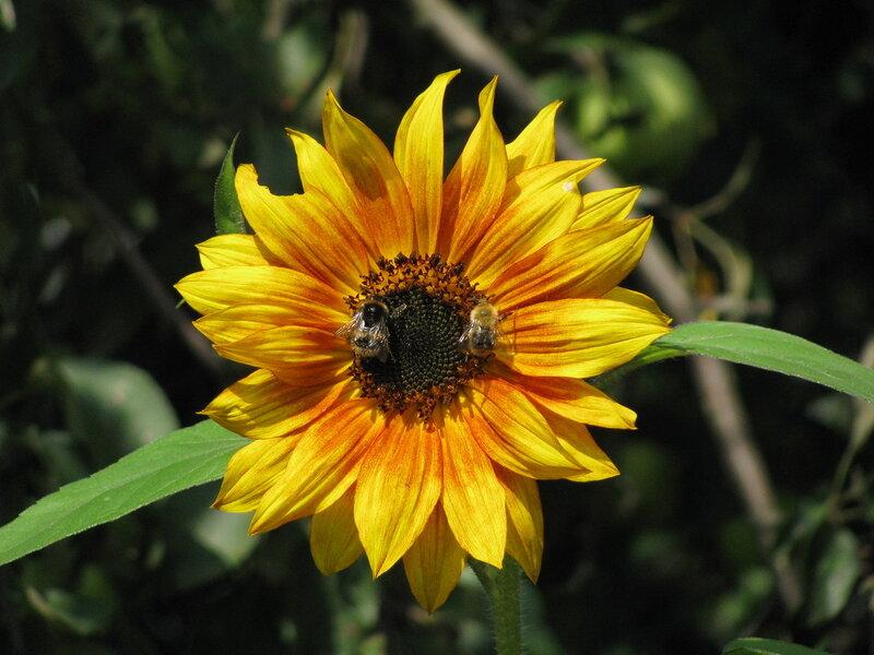 Подсолнух и пчелы