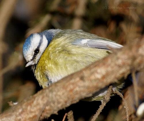 А вы не забыли покормить птиц? / Лазоревка, семейство Синициевые (Parus coeruleus)