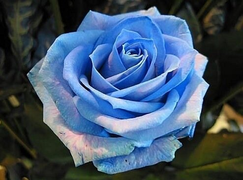 photo-rose-photo-rose-bleue-01.jpg