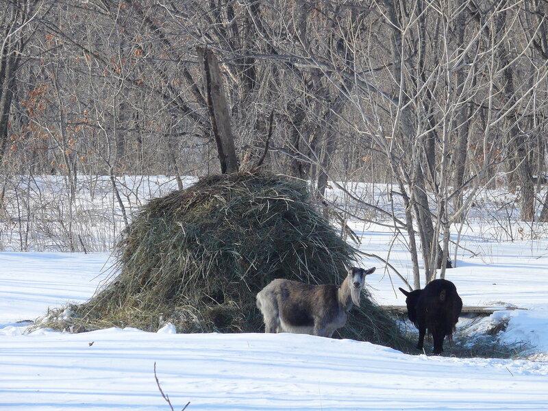 козы ближнего кордона.jpg