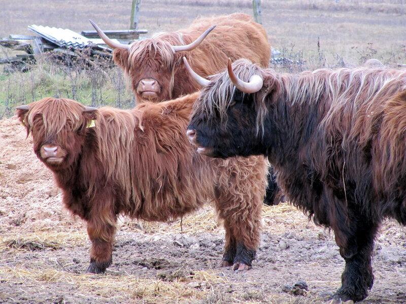 Коровы шотландской горной породы в Латвии!