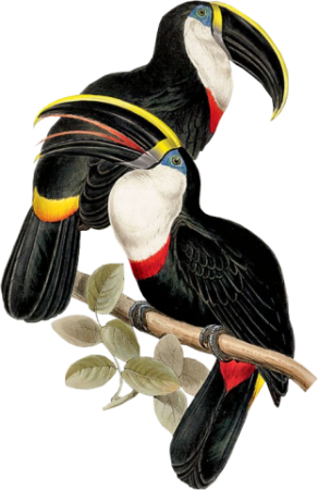 Birds50(toucans)_dhedey.png