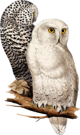 Birds51(owls)_dhedey.png